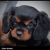 Photo de Rolls, chiot Cavalier King Charles Spaniel - 441508