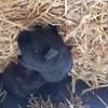 Photo de Demon, rongeur Cochon d'Inde - 428206