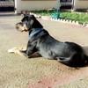 Photo de Black, chien Rottweiler - 416888