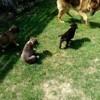 Rox, chien Cane Corso