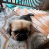 Roxy, chien Pékinois