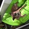 Roxy, chien Berger blanc suisse
