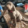 Roxy, chien Braque de Weimar