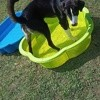 Ruby, chien Border Collie