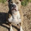 Ryô, chien American Staffordshire Terrier