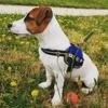 Ryuk, chien Jack Russell Terrier