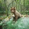 Séti, chien Chien finnois de Laponie