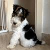 Salto, chien Fox-Terrier