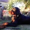 Sam, chien Setter Gordon