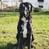 Sam, chien Cane Corso
