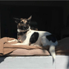 Samba, chien Jack Russell Terrier