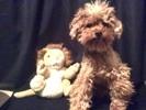 Sammy, chien Caniche