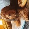 Sansa, chien Basset fauve de Bretagne