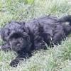 Saphir, chien Bichon havanais