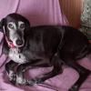 Sasha, chien Lévrier espagnol