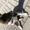 Sembe, chien Basenji