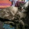 Shelton, chat Siamois