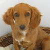 Shiva, chien Basset fauve de Bretagne