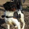 Sidney, chien Épagneul breton
