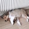 Sirius, chien Colley à poil long