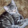 Sisko, chat American Shorthair
