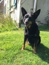 Sister, chien Beauceron