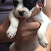 Skada, chien Bouledogue français