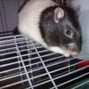 Snow, rongeur Rat