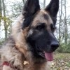 Sofia, chien Berger allemand