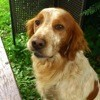 Sparky, chien Épagneul breton