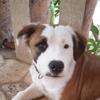Sparrow, chien American Staffordshire Terrier