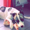 Spot, chien Dogue argentin