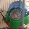 Spyro Petit Surnom Ma Belette, rongeur Chinchilla