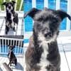 Stella, chien Griffon à poil dur Korthals
