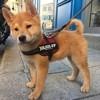 Stitch, chien Shiba Inu