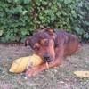 Suami, chien Rottweiler
