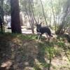 Sultane, chien Berger allemand