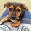 Sumol, chien Jack Russell Terrier