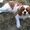 Swagy, chien Cavalier King Charles Spaniel