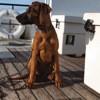 Syrah, chien Rhodesian Ridgeback