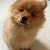 Tae, chien Spitz japonais