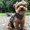 Taz, chien Yorkshire Terrier