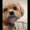 Théo, chien Yorkshire Terrier