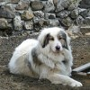 Tekila, chien Chien de montagne des Pyrénées