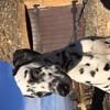Tess, chien Dalmatien