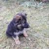 Thais, chien Berger allemand