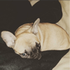 Tikka, chien Bouledogue français