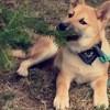Tim, chien Shiba Inu