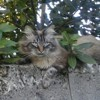 Titou, chat Ragdoll