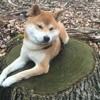 Toh, chien Shiba Inu